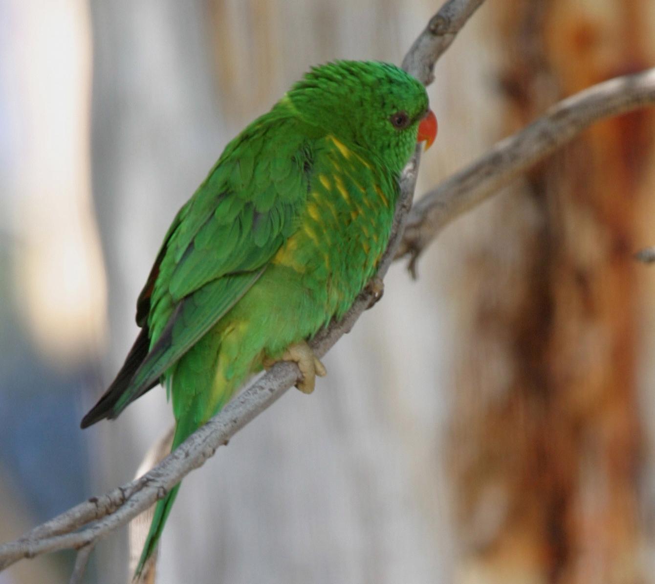 Scaly Breasted Lorikeet Birds In Backyards