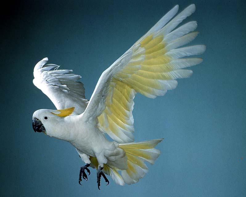 Resultado de imagem para sulphur crested cockatoo