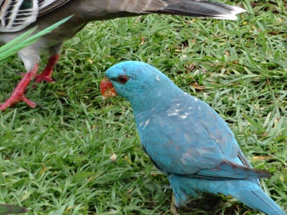 Blue Scaly Breasted Lorikeet Birds In Backyards