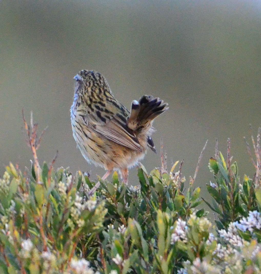 identification please   BIRDS in BACKYARDS