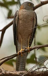 Collared Sparrowhawk Birds In Backyards