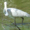 Spoonbill4414's picture